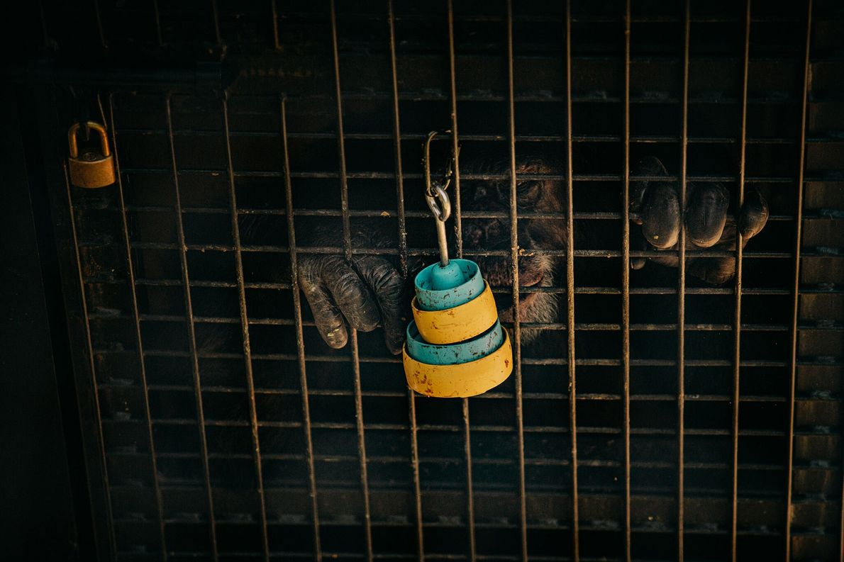 Um chimpanzé de laboratório aposentado pega guloseimas em potes empilhados presos ao lado de fora de ...