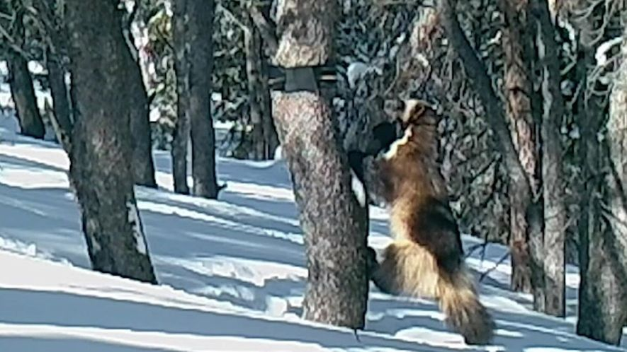 Wolverine – o animal – é flagrado por armadilha fotógrafica