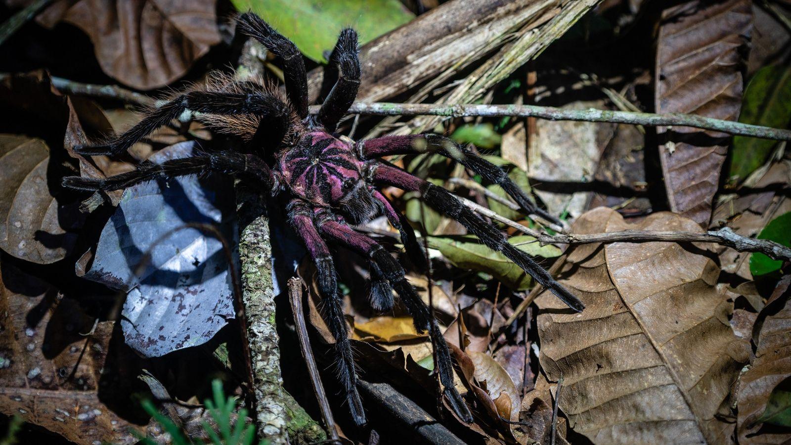 A espécie colombiana é uma grande tarântula com uma população que é pouco conhecida.
