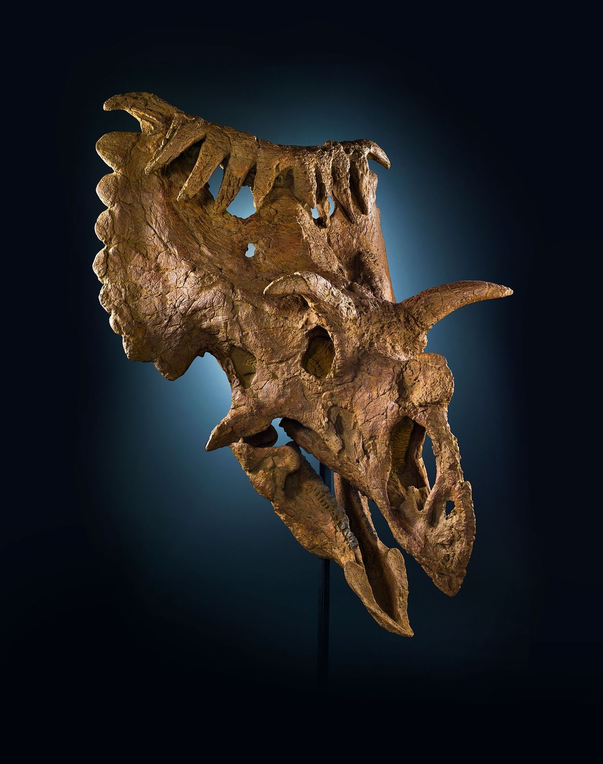 Este crânio incomum vem de um parente de Triceratops chamado Kosmoceratops richardsoni. Este dinossauro ceratopsiano, do ...