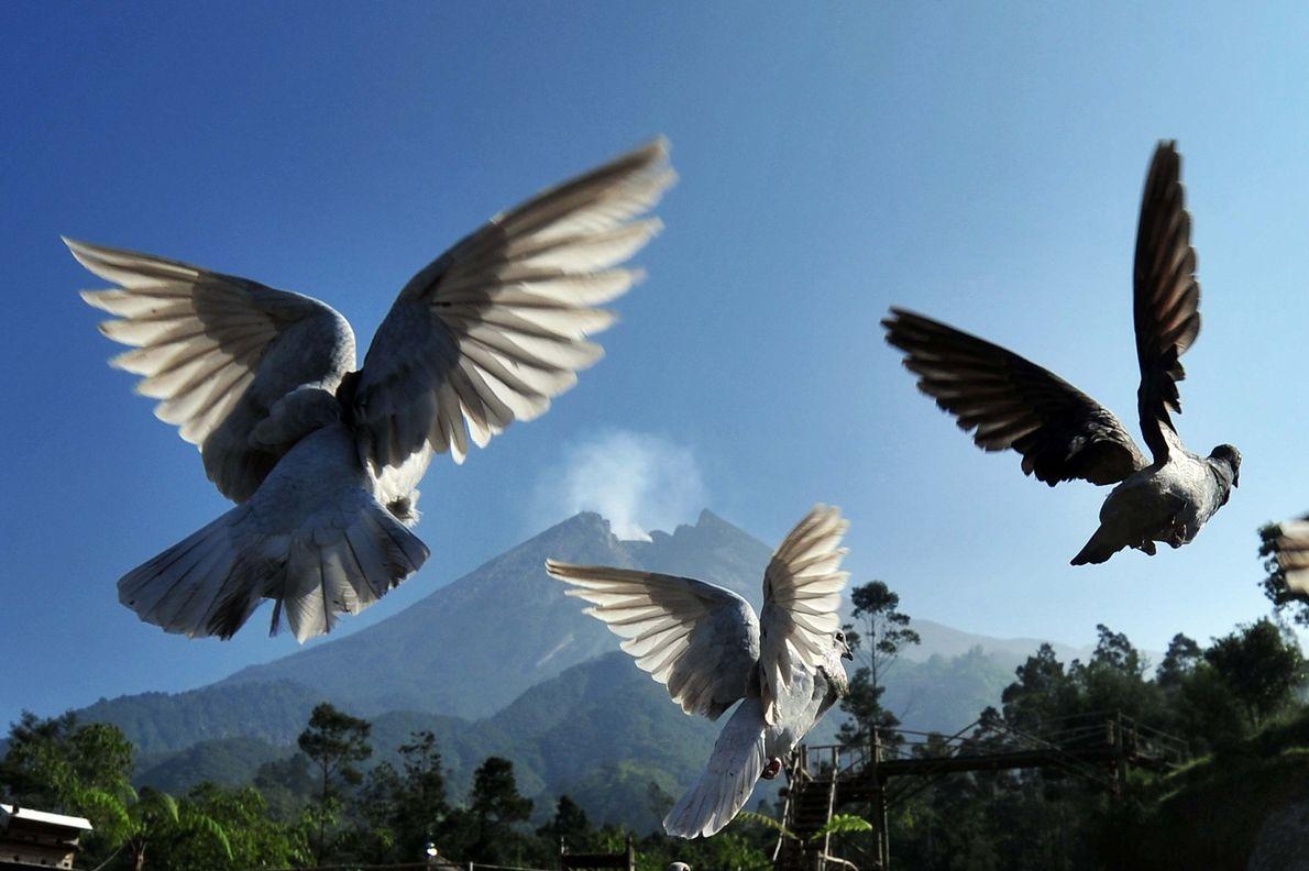 Pombos voam enquanto o vulcão Merapi da Indonésia fervilha em 4 de junho de 2018. O ...