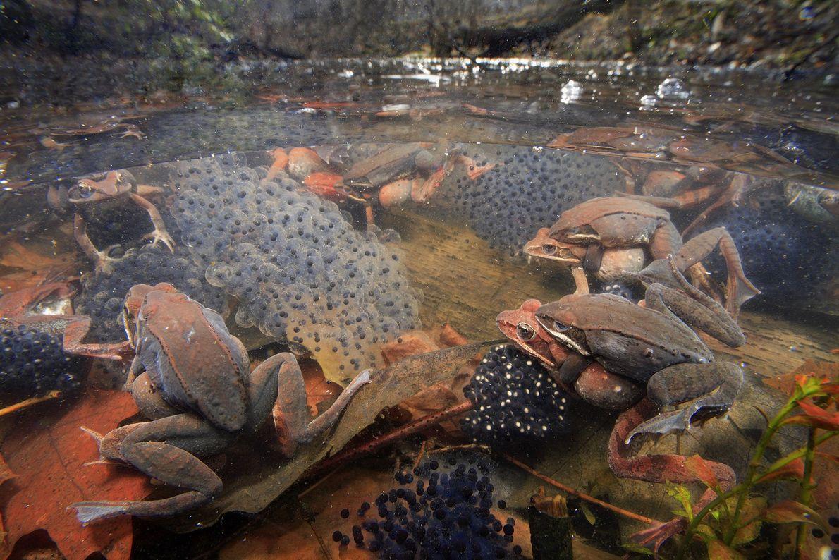 rãs em lago no começo da primavera
