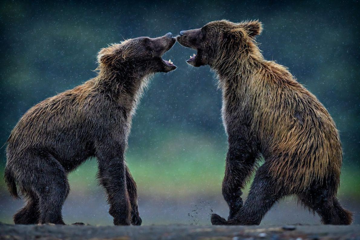 galeria-de-fotos-animais-em-acao-ursos-brigando