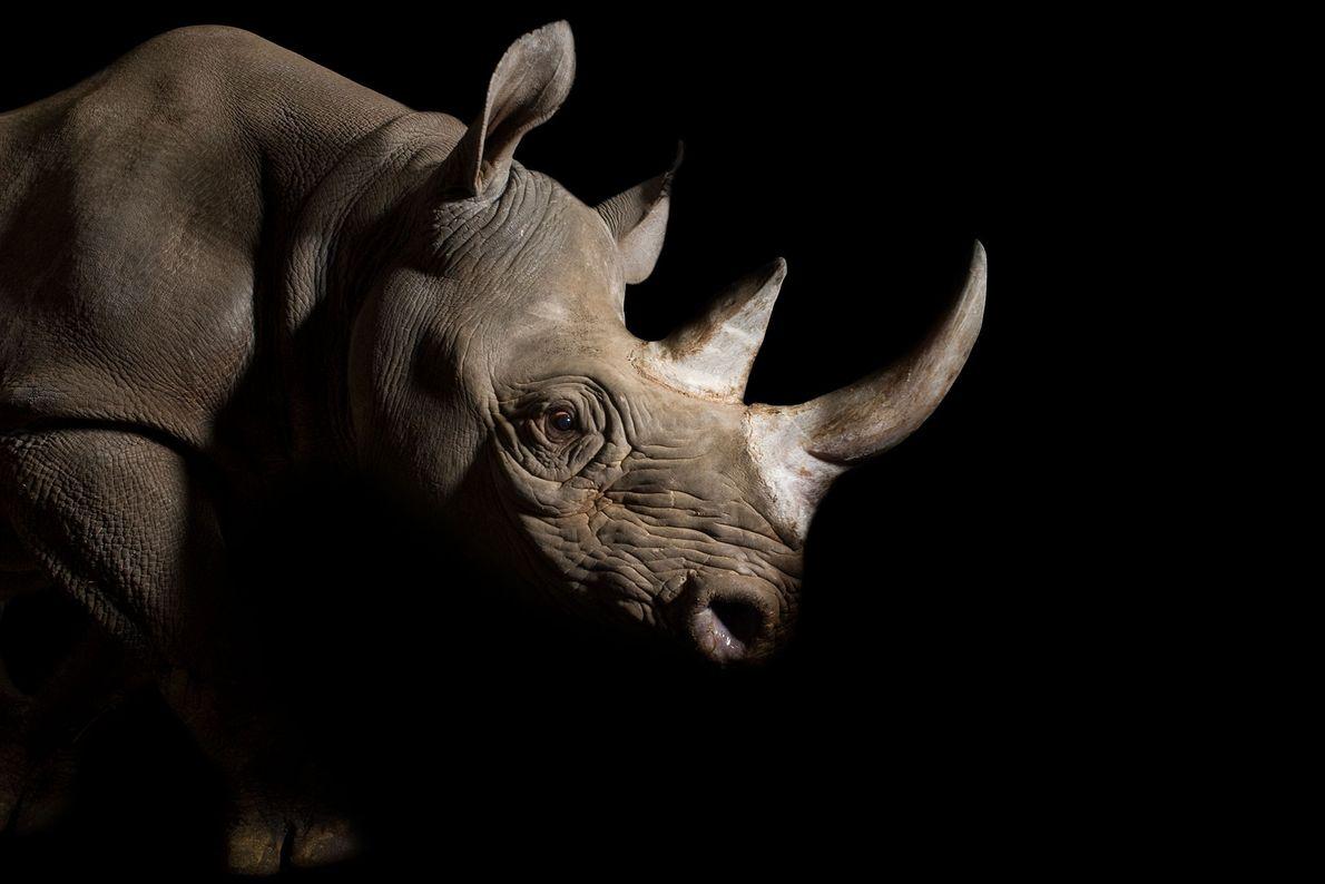 O rinoceronte-negro do leste ostenta um elegante par de cornos robustos. Caçadores arriscam suas vidas e ...