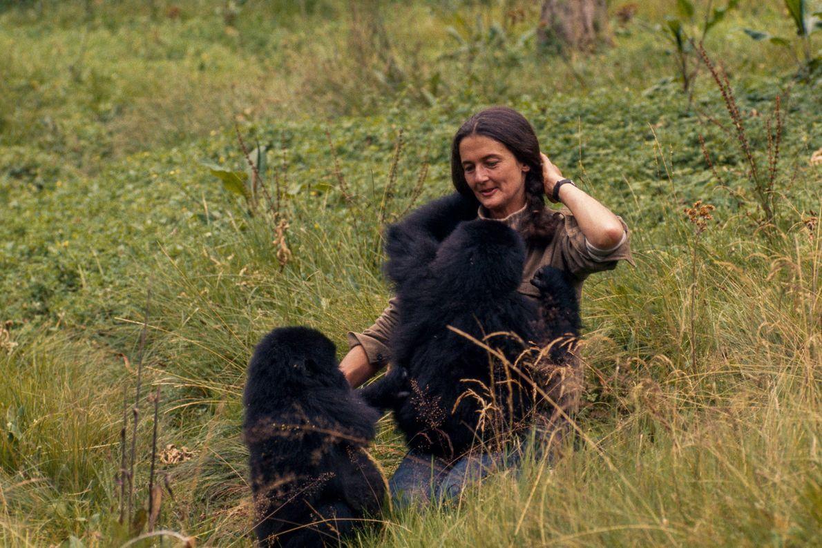 Fossey brinca com Pucker Puss e Coco. Vinte gorilas adultos da família deles haviam sido mortos ...