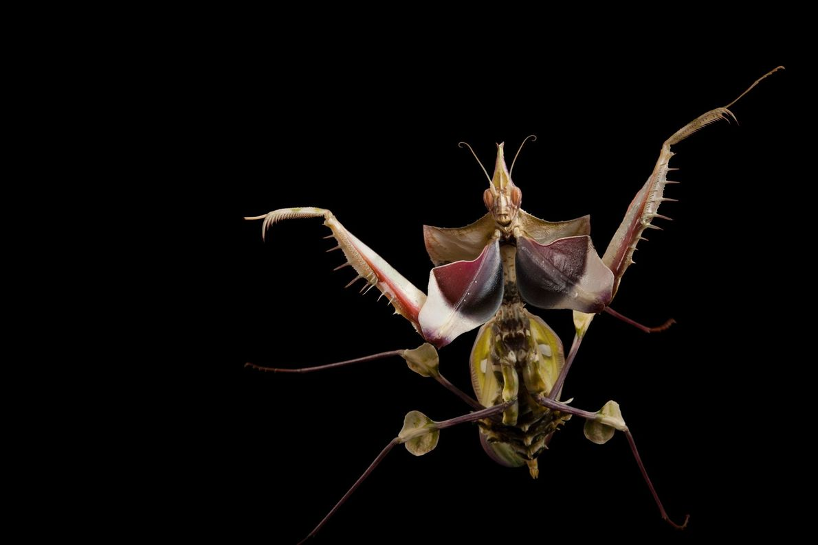 A devil's flower mantis (Idolomantis diabolica) at the Omaha Henry Doorly Zoo