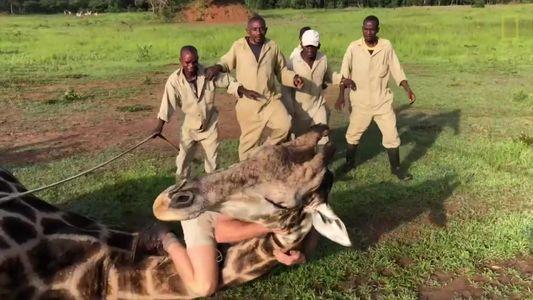 Uma girafa se enroscou em um fio de metal. Veja como ela foi socorrida