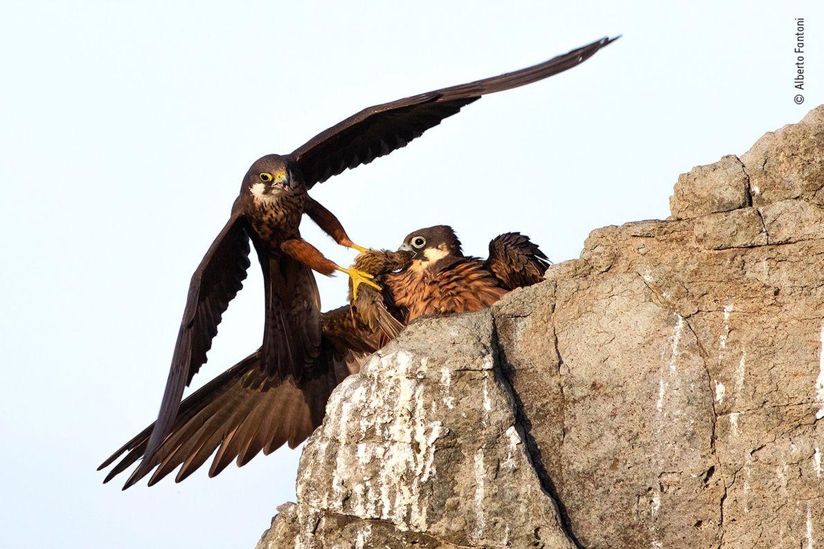 """O italiano Alberto Fantoni ganhou o prêmio de """"portfólio em ascensão"""" pelo seu trabalho documentando pássaros ..."""