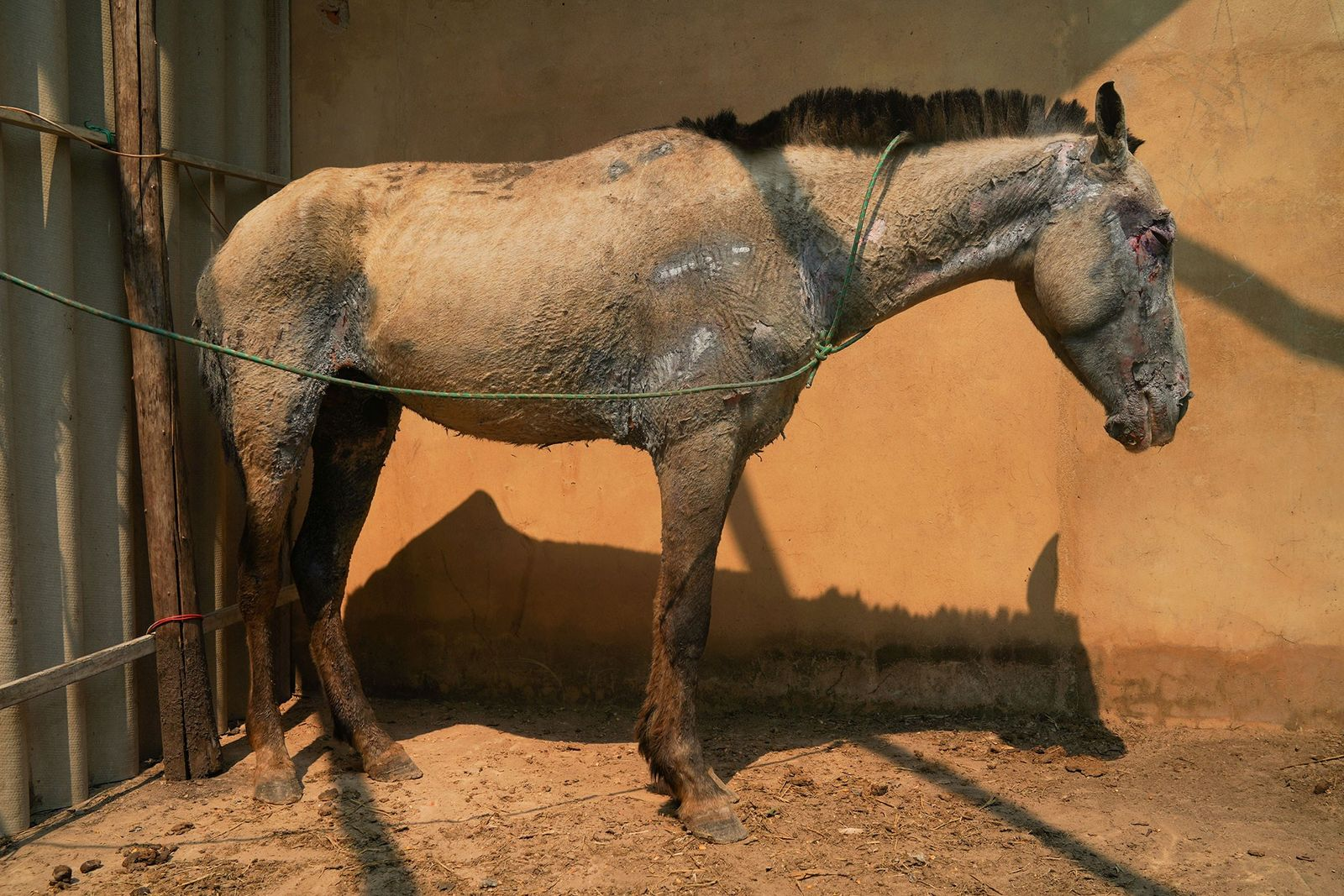 Essa égua chamada Milagros sofreu queimaduras de quarto grau no rosto e pescoço ao ficar presa ...