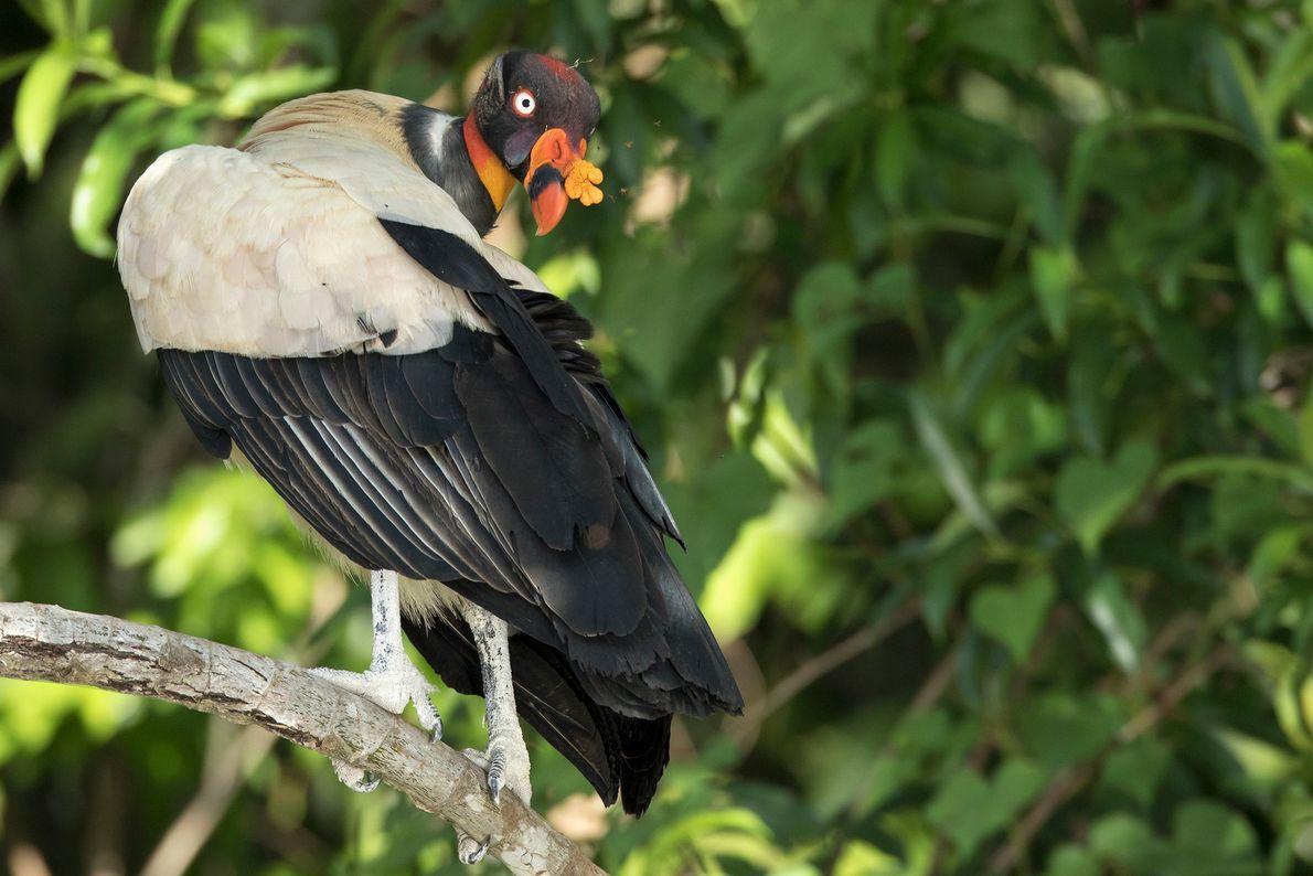 Um urubu-rei empoleirado em um galho de árvore no Parque Nacional de Manú. Madre de Dios, ...