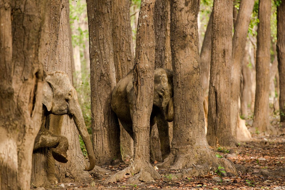 Elephants. Jim Corbett National Park, Uttar Pradesh, India