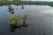 A vegetação do igapó orna a região do rio Juma, no Amazonas. As florestas de várzea ...