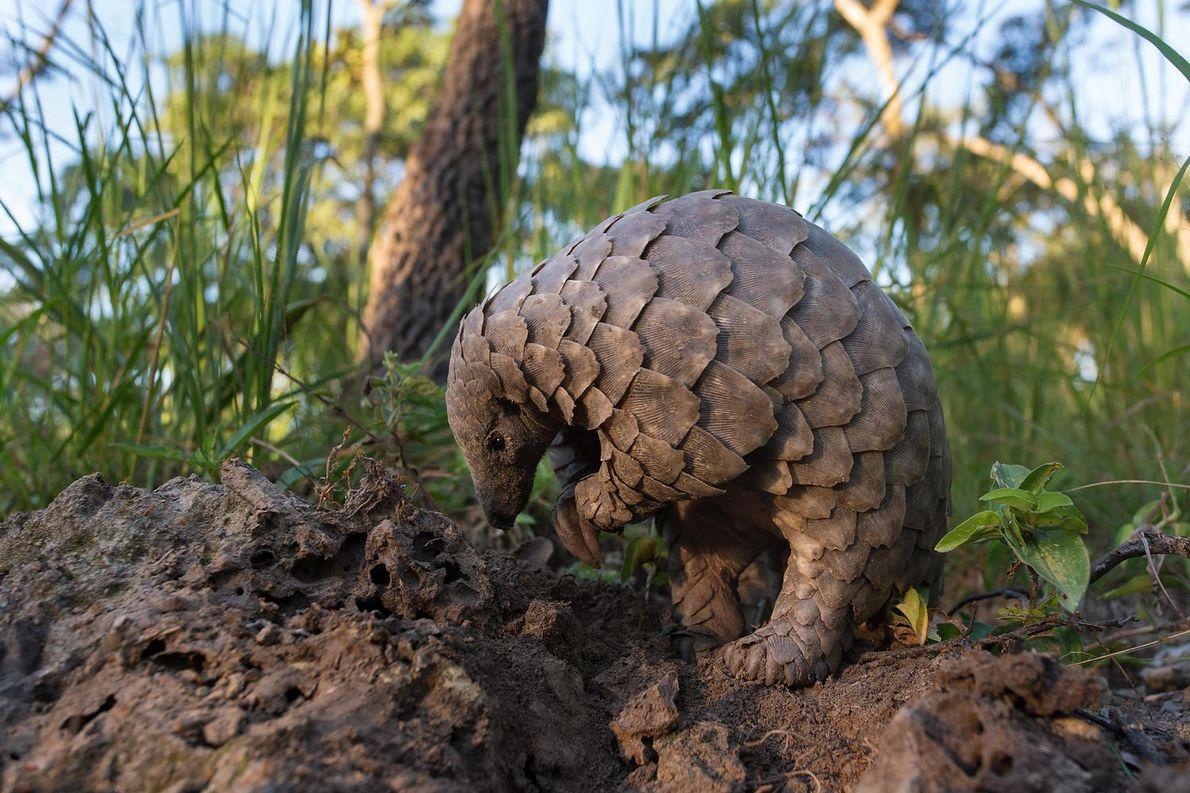 Um jovem pangolim procura formigas na terra. Pangolins agarram as presas com línguas que podem ser …