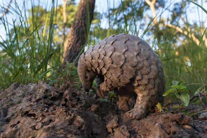 Um jovem pangolim procura formigas na terra. Pangolins agarram as presas com línguas que podem ser ...