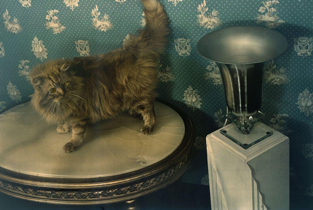 Um gato birmanês posa em Cambridge, Massachusetts. Na época, Elmer era um dos únicos gatos birmaneses ...
