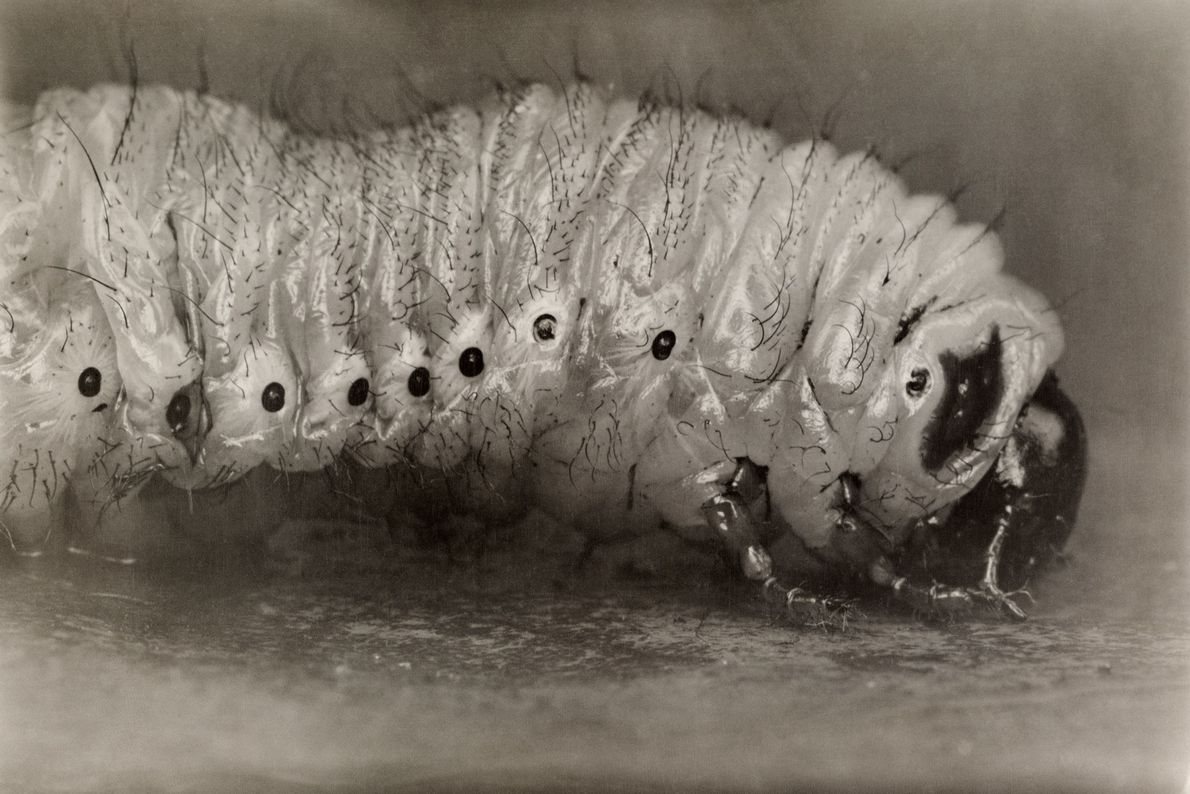 Besouros-de-junho têm um ciclo de vida de três anos, parte do qual inclui larvas brancas de ...