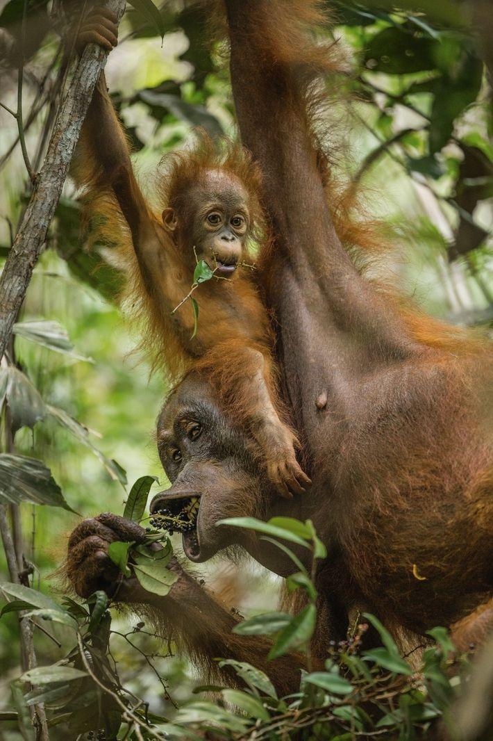 orangotango-e-filhote