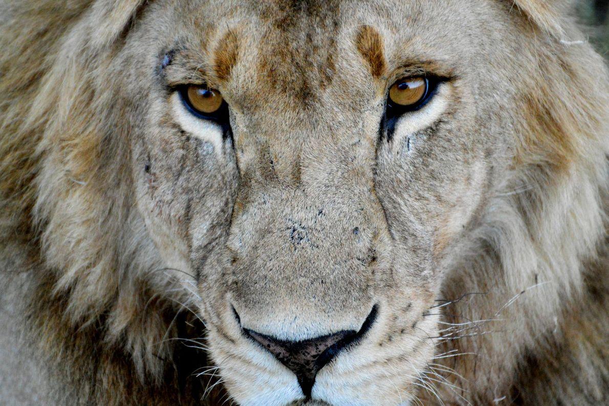 leao-parque-nacional-serengeti-tanzania-sua-foto