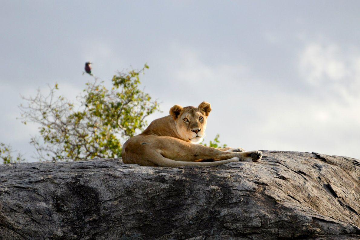 Leoa descansa sobre uma rocha no Parque Nacional do Serengeti, Tanzânia.