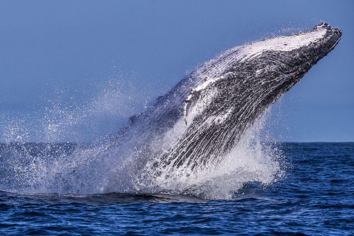O salto da baleia-jubarte próximo à costa do Espírito Santo.