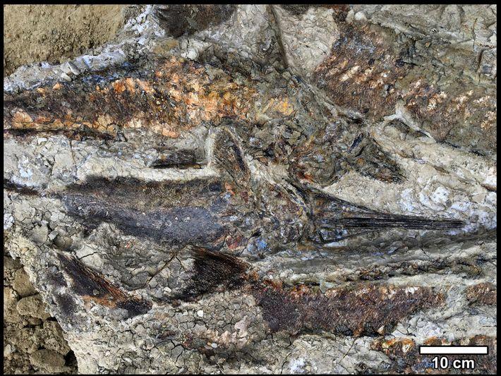 Os depósitos de Tanis contêm uma massa bem preservada de peixes emaranhados que reteve as formas ...