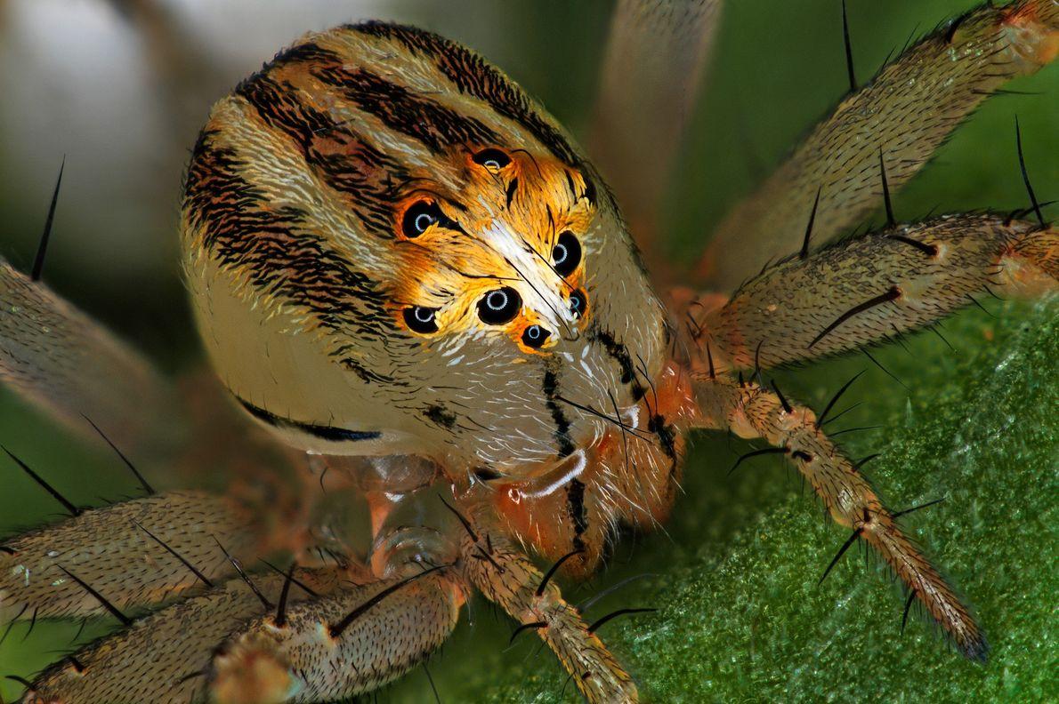 O entomologista francês Antoine Franck montou esta imagem de uma aranha-lince fêmea (Oxyopes dumonti). As aranhas ...
