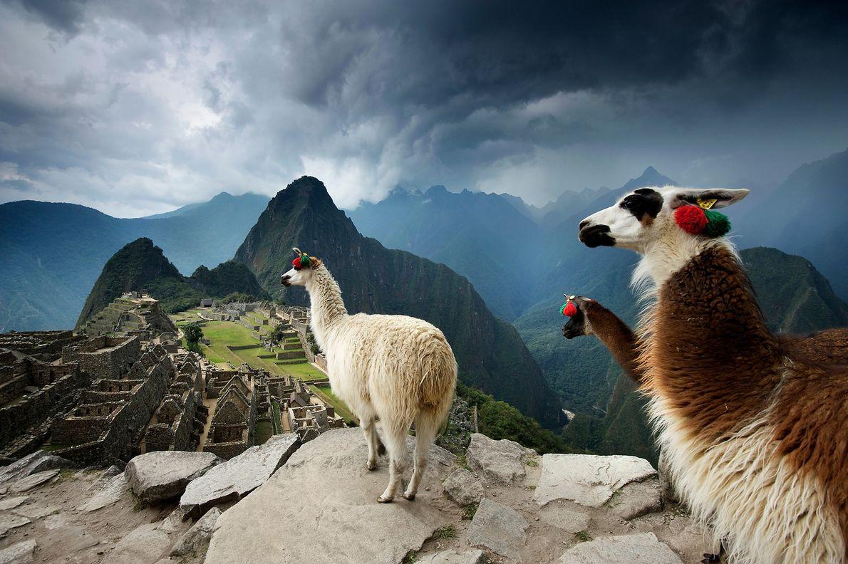 Lhamas observam as ruínas incas pré-colombianas em Machu Picchu. Região de Cuzco, Peru.