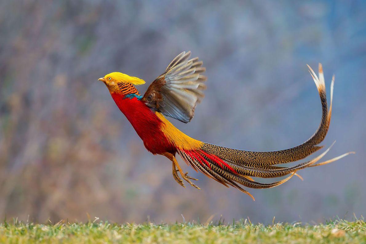 Golden pheasant. Pingdingshan, Henan Sheng, China