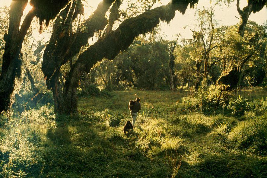 Fossey caminha pela floresta do Parque Nacional dos Vulcões carregando dois gorilas. O parque era um lugar muito mais perigoso para os animais naquela época, com caçadores e madeireiros ilegais impunes com a vista-grossa de guardas-florestais.