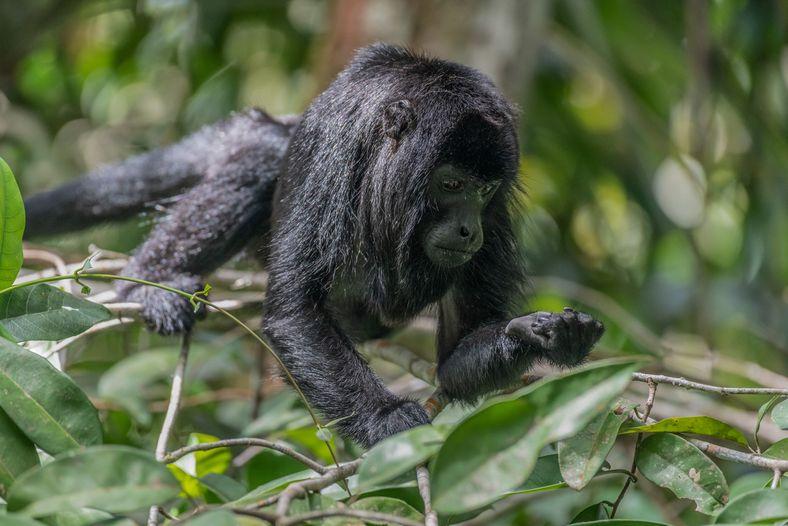 Bugio-preto-da-amazônia (Alouatta nigerrima) em Autazes, Amazonas.