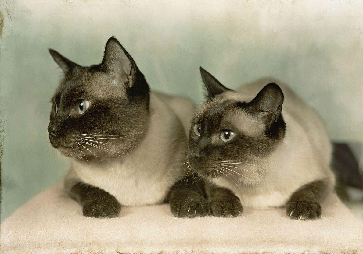Dois gatos siameses posam lado a lado para a foto, em Newton, Massachusetts.