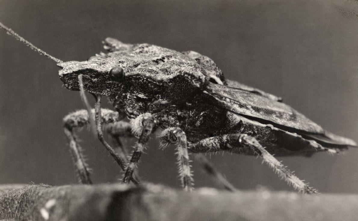 Muitos americanos conhecem o percevejo-fedorento, uma espécie invasora da Ásia que já estragou plantios de frutas ...