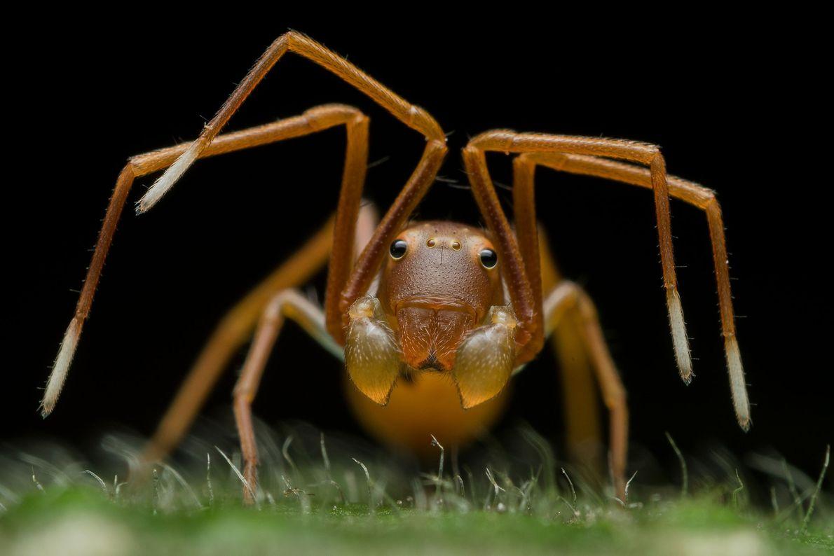 Esta foto de uma aranhas-caranguejo imitando uma formiga deu ao fotógrafo indiano Ripan Biswas o prêmio ...