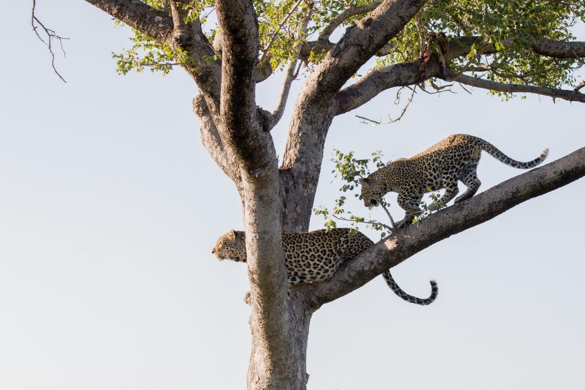 leopardos-sobem-na-árvore-no-kruger