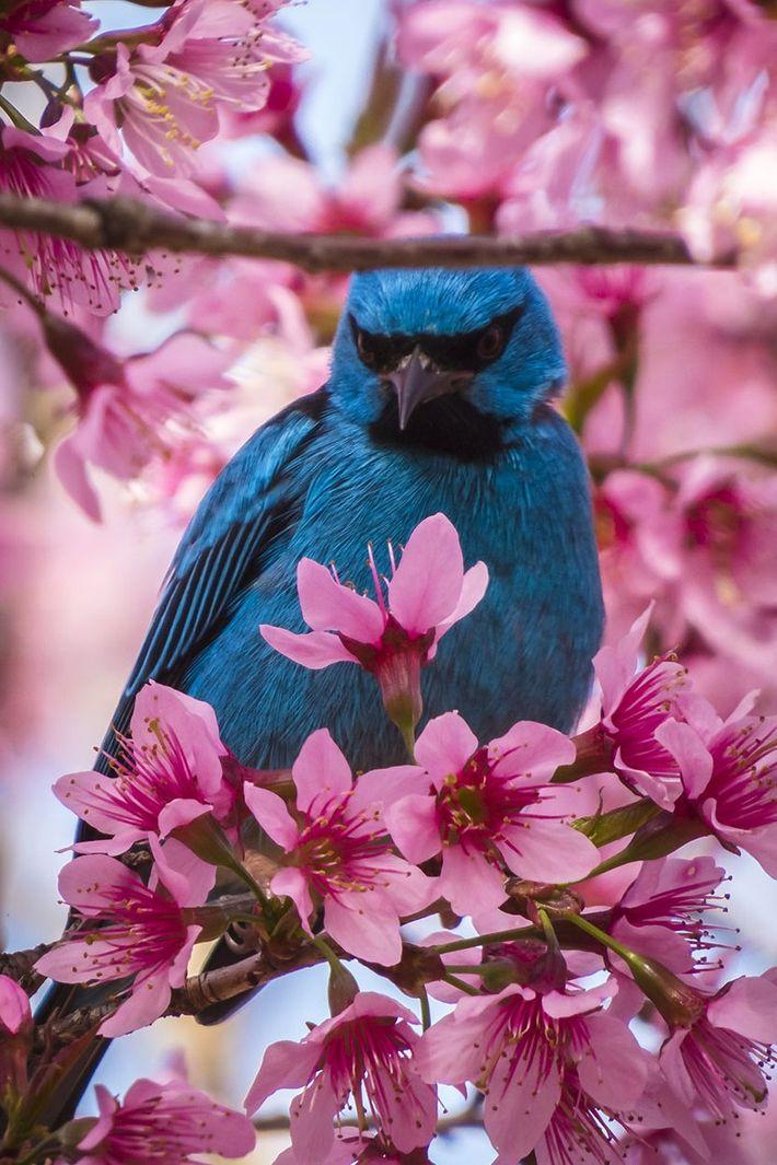 sua-foto-170804-sai-azul-cerejeira