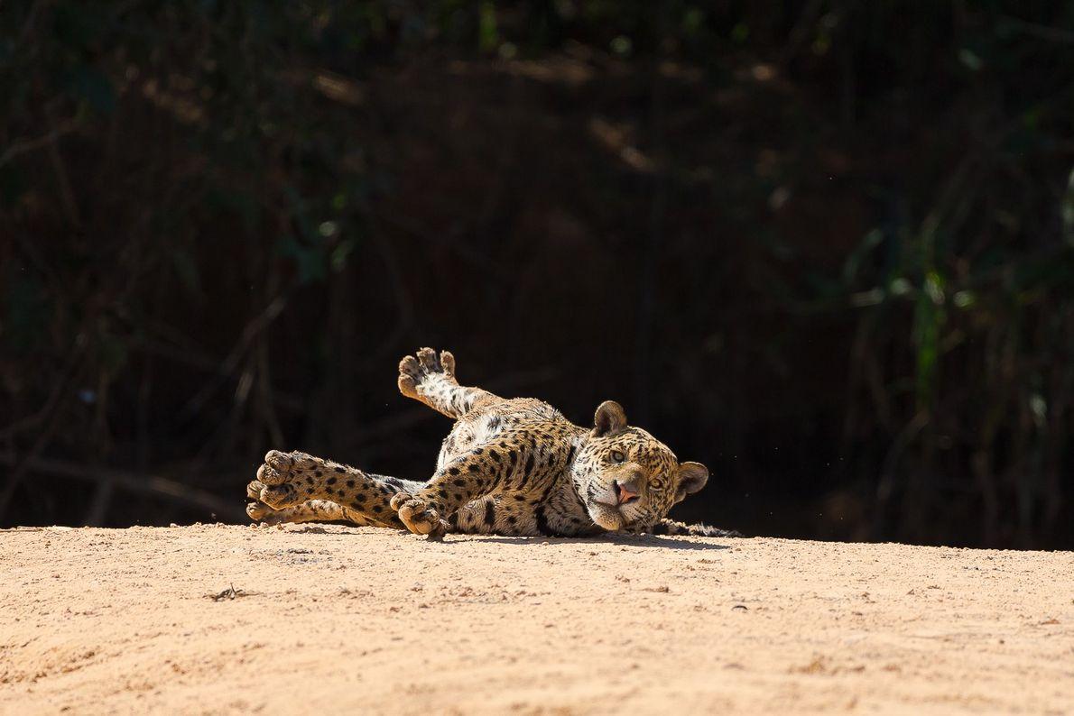 Uma jovem onça-pintada fêmea brinca nos bancos de areia do Pantanal.