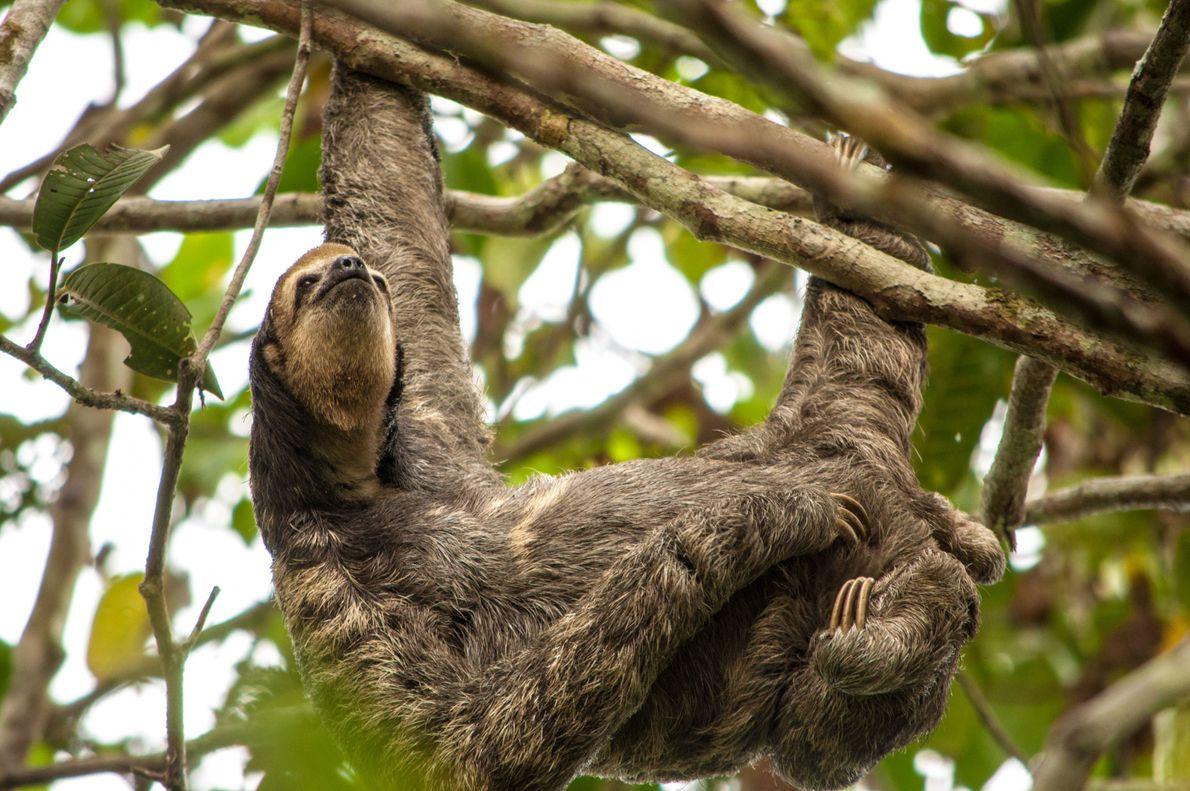 A preguiça se estica em uma árvore em Manaus, Amazônia.