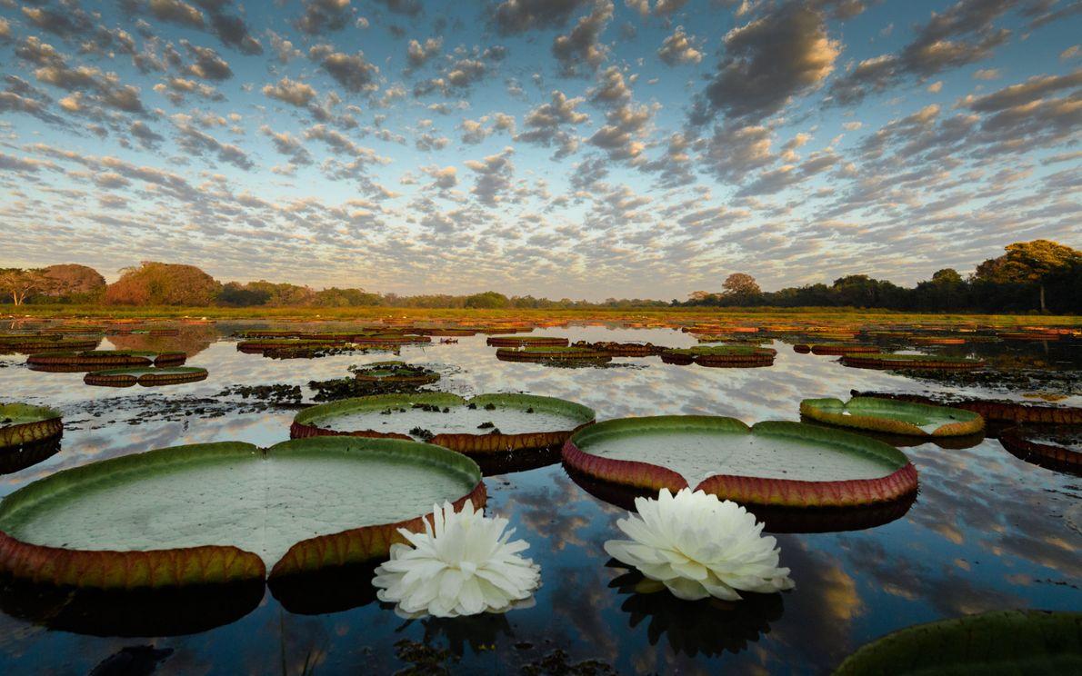 sua-foto-170821-vitoria-regia.pantanal