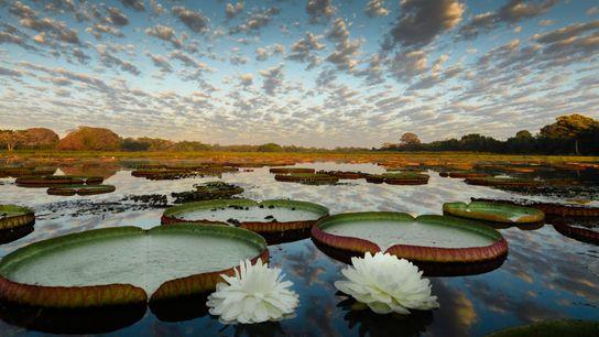 Vitórias-régias pantanal