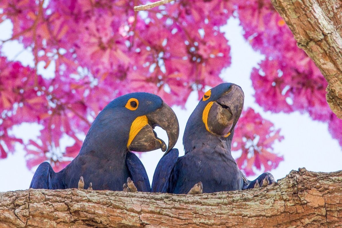 casal de araras-azuis