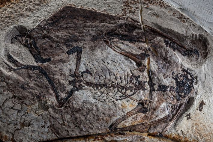 fossil-de-pterossauro