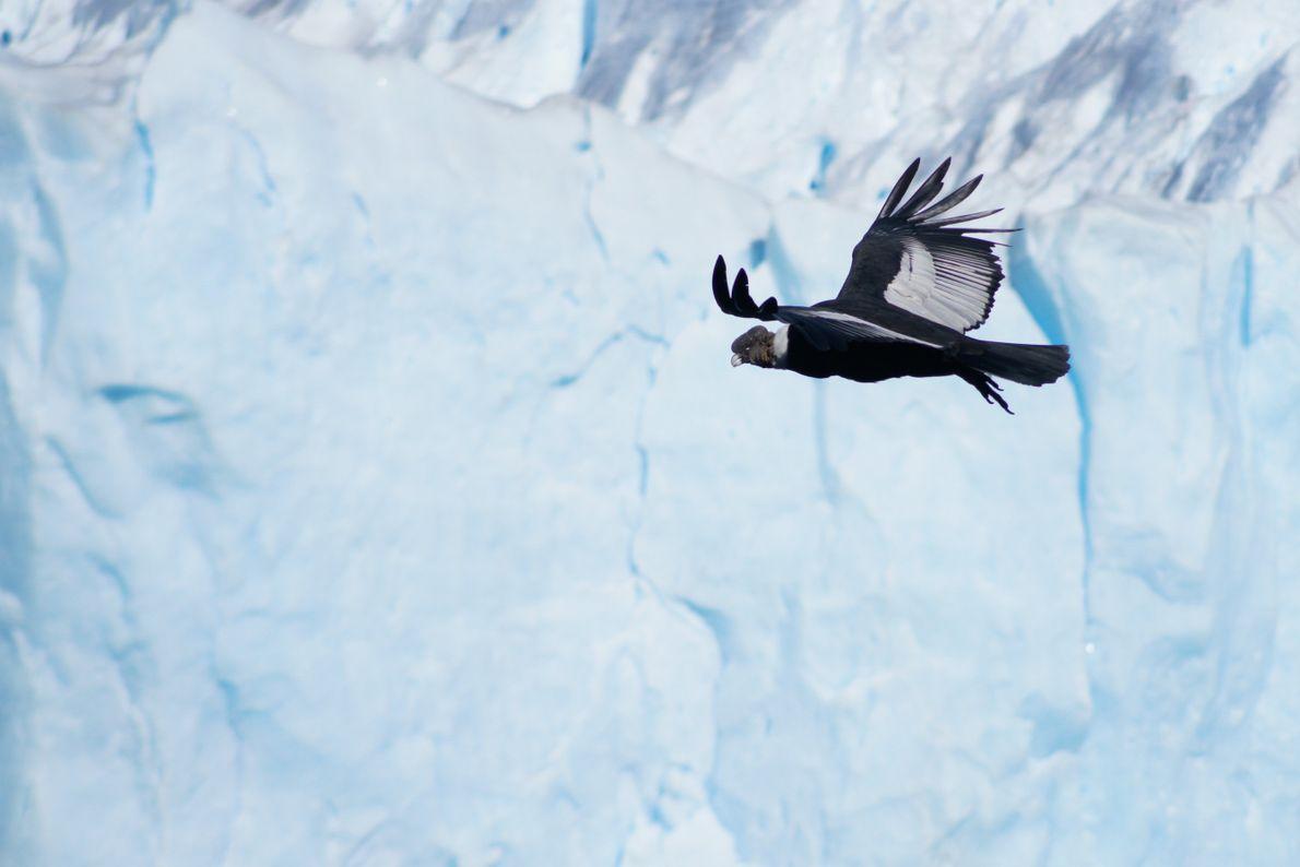 Condor no Parque Nacional Los Glaciares