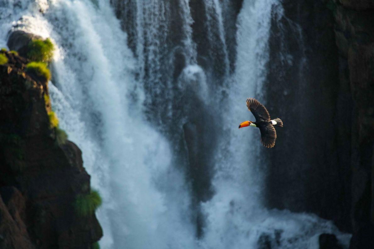 tucano-toco-patrimonio-mundial-natural-cataratas-do-iguacu
