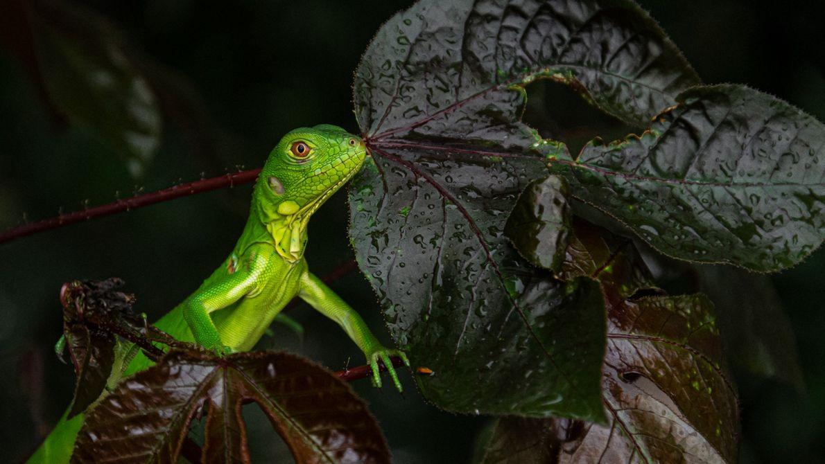 Verde brilhante