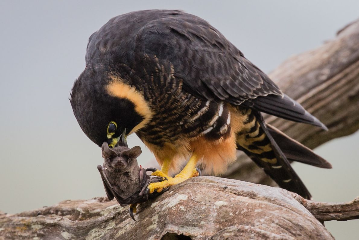 ave comendo morcego