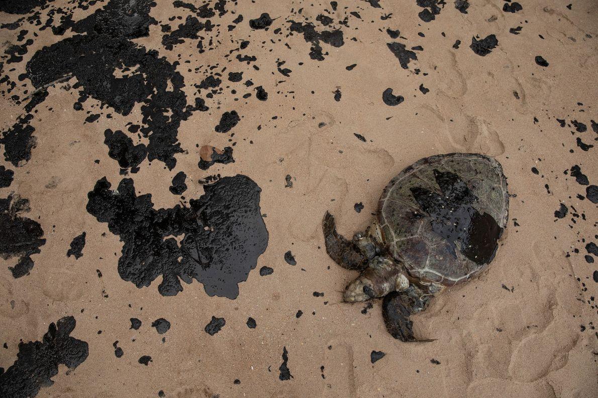 Esta tartaruga foi encontrada morta depois do óleo chegar em Japaratinga, município que fica 120 km …