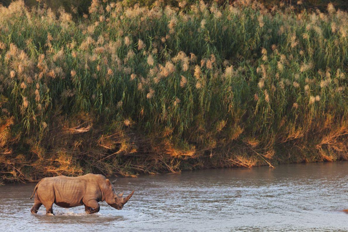 rinoceronte patrulha territorio