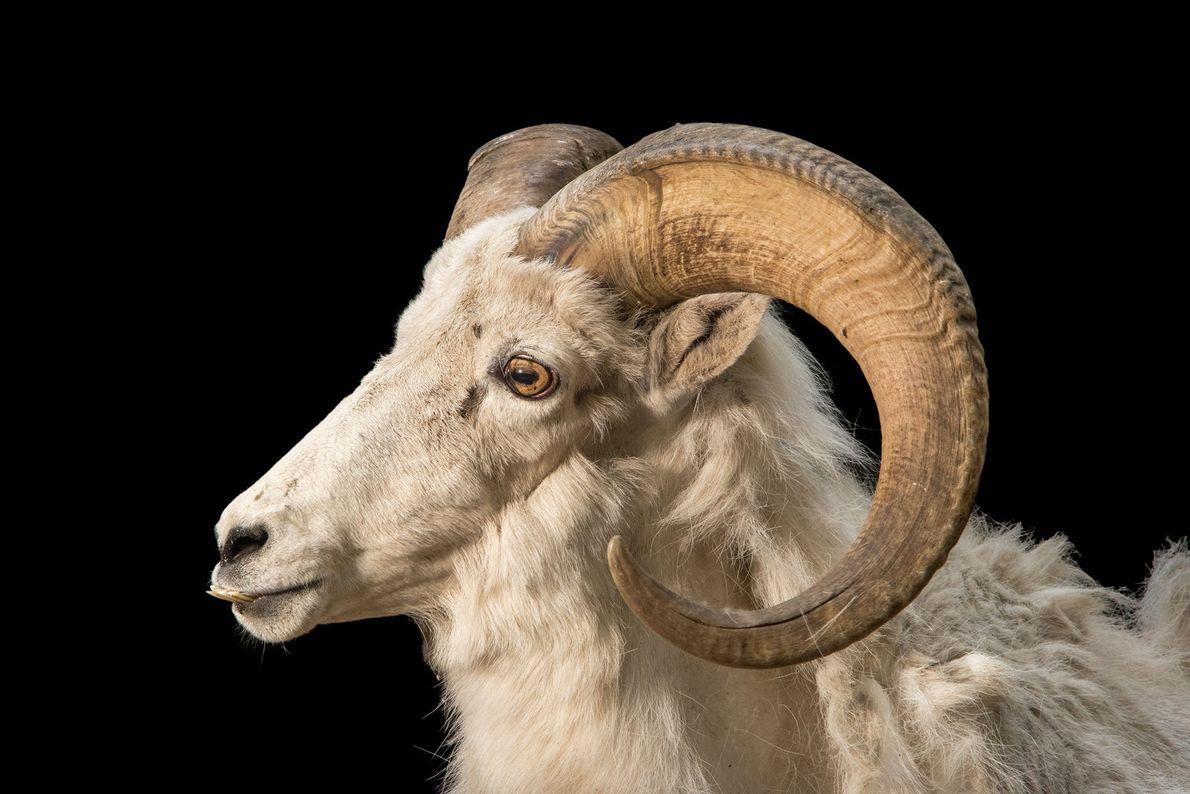 O Thinhorn, ou carneiro-de-Dall, pode ser encontrado nas montanhas subárticas que se estendem do Alasca ao ...