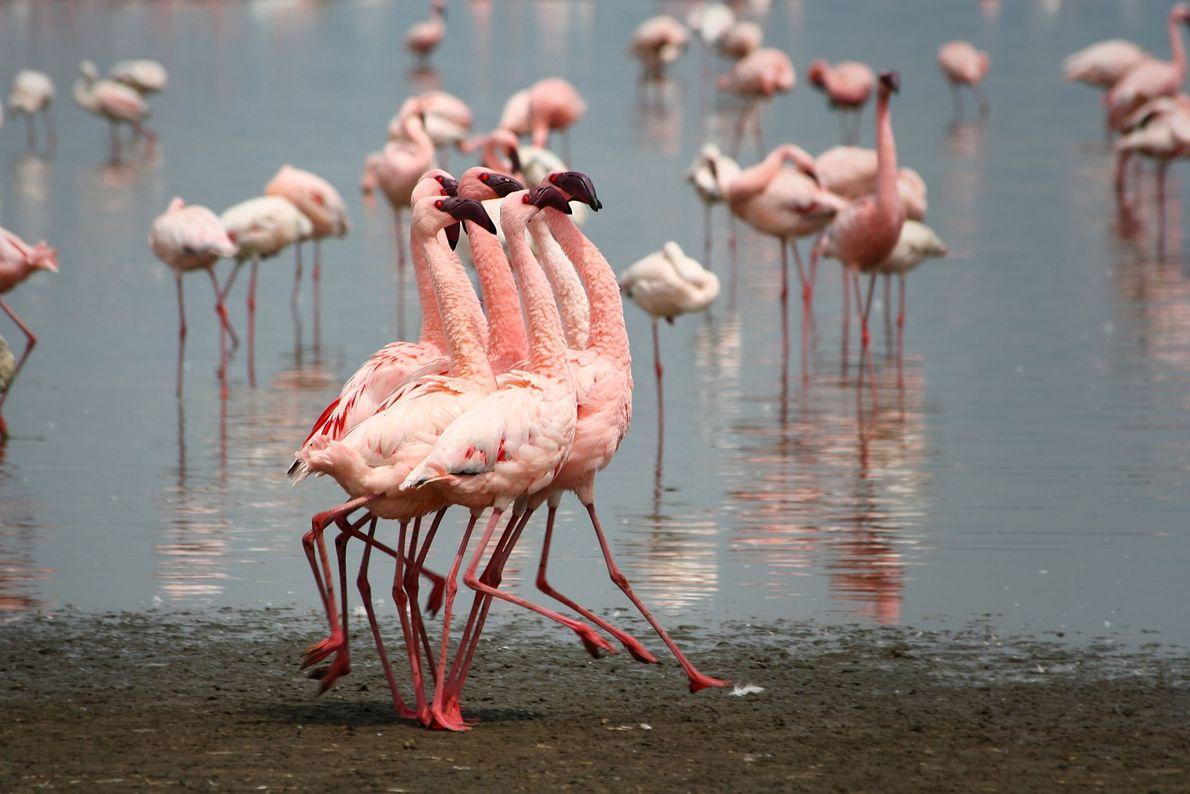 Flamingos. Lake Nakuru, Kenya
