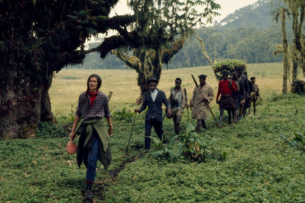 O habitat do gorila era repleto de caçadores e outros moradores locais que usavam o parque ...
